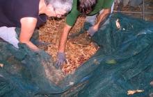 On ôte les bogues* (pélous) et feuilles remontées à la surface